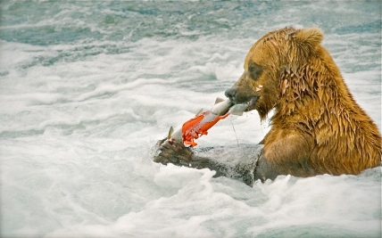 grizzly-bear-salmo_2174488k